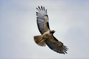 hawk 3